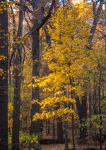Fall leaves Washington Grove
