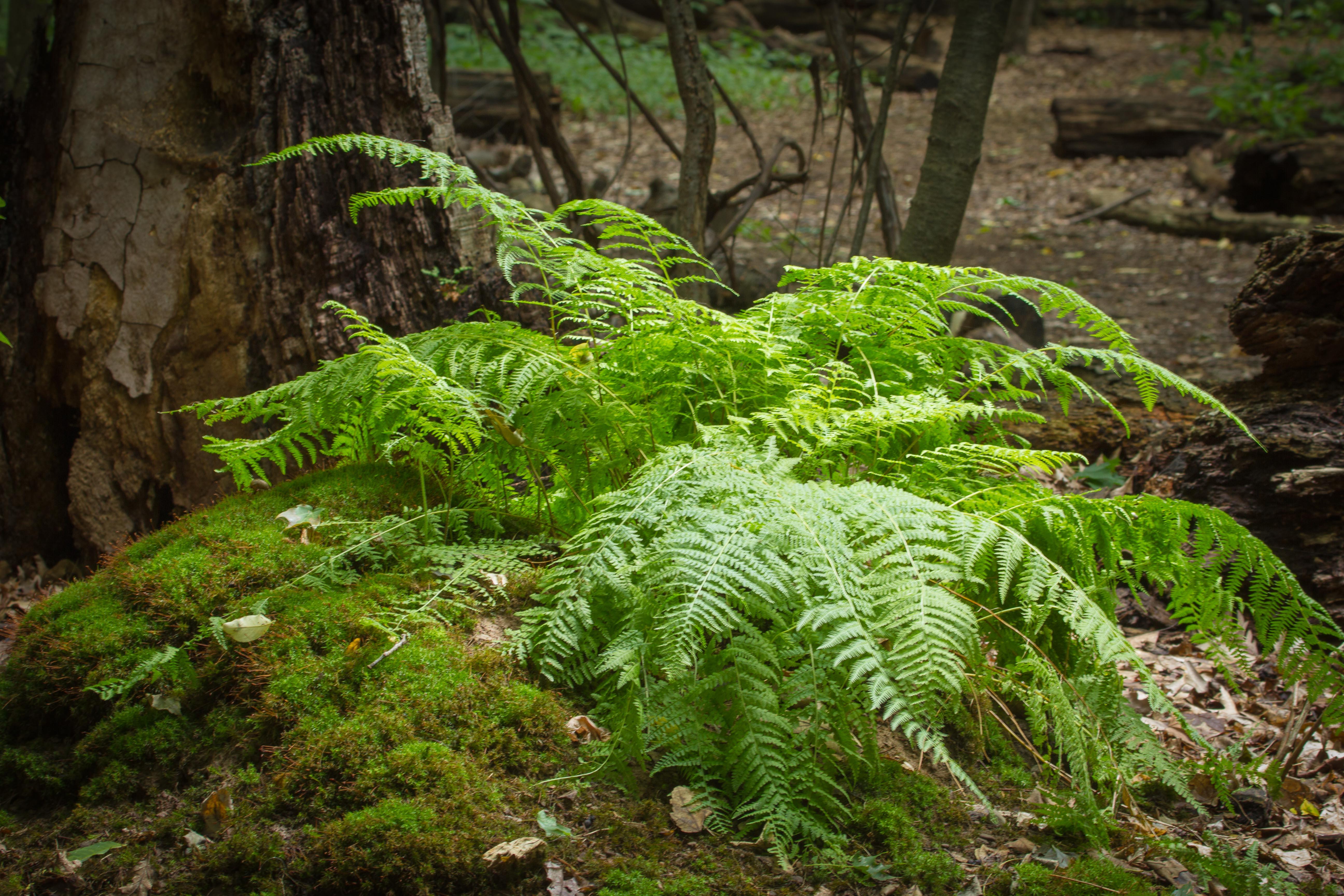 Fancy fern