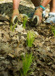 Planting sedge-2